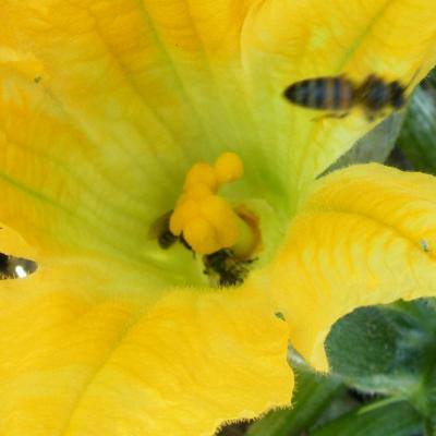 Pollinisation courgette